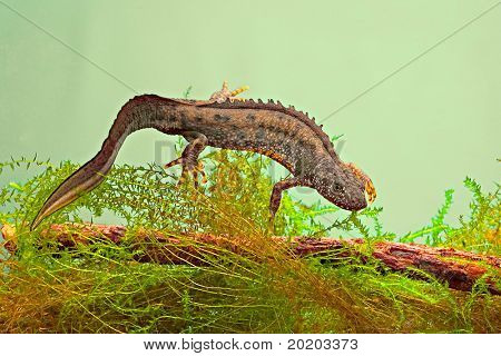 newt swimming under water aquatic animal amphibian of small freshwater ponds endangered species and protected by nature conservation great crested newt or Triturus cristatus poster
