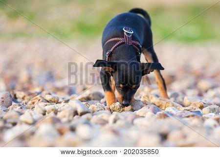 Pinscher Hybrid Puppy Sleuths On A Pebble Beach
