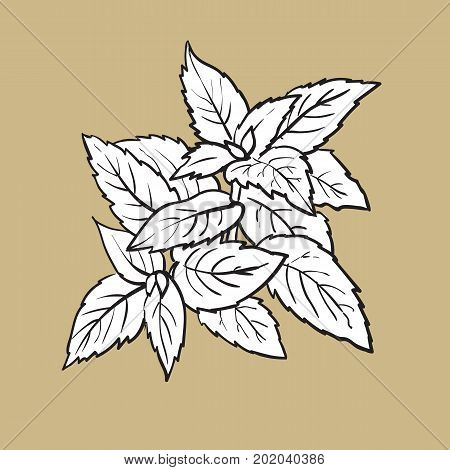 mint herbs ingredients, black and white outline sketch style vector illustration on color background. Realistic hand drawing of mint leaves with space for text.
