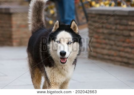 The Husky dog walks. Blue eyes of a dog