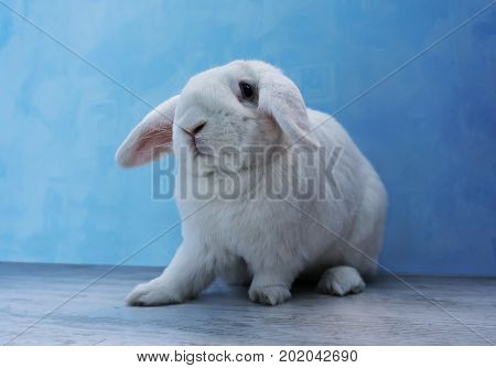 Beautiful White Rabbit