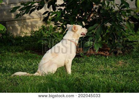 Thai white dog, homeless white dog, male dog