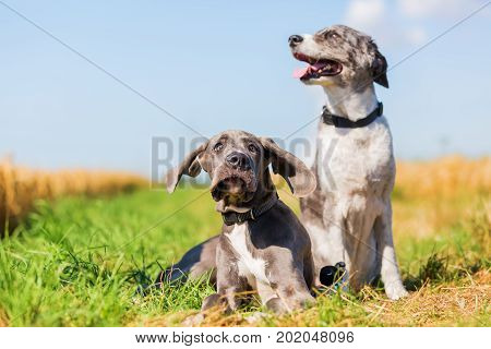 Great Dane Puppy And An Australian Shepherd On A Country Path