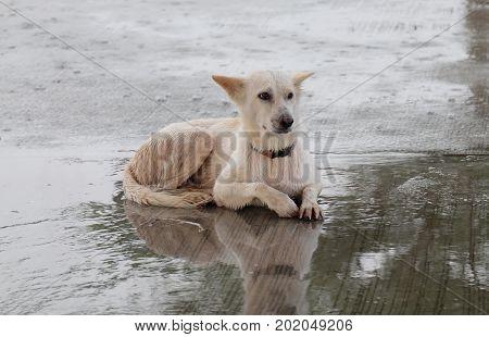 Thai dog White, wet on a rainy day