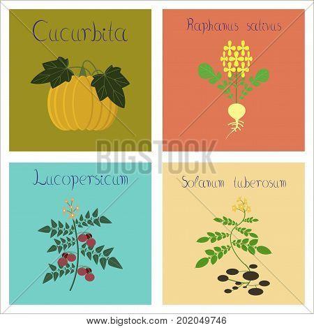 assembly of flat Illustrations nature Cucurbita raphanus tomato Solanum
