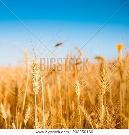 Image of wheat spikelets in field with blue sky on blurred background