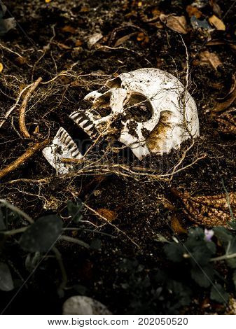 Beside of human skull buried in the soil with the roots of the tree on the side. The skull has dirt attached to the skull.concept of death and Halloween