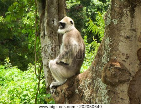 A common Langur keeping watch from high up in the vegetation.
