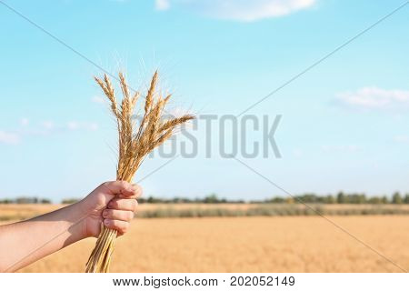 Man holding bunch of spikelets on blue sky background