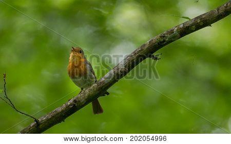European robin (Erithacus rubecula) holding food against green fuzzy background in summer, Podlasie Region, Poland, Europe