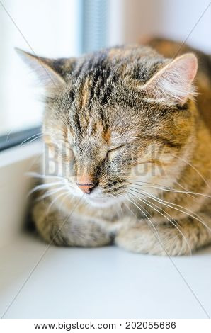 Sleeping cat. Portrait of a domestic cat on a white windowsill. Lazy cat lays near the window with close eyes
