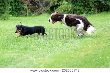 Two Dogs Playing Rough In Grass