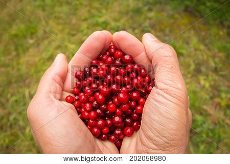 Hand In Mittens Holds A Cowberries Berries