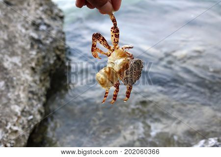Dead crabs on the rocks by the sea.Marine life conservation concept.