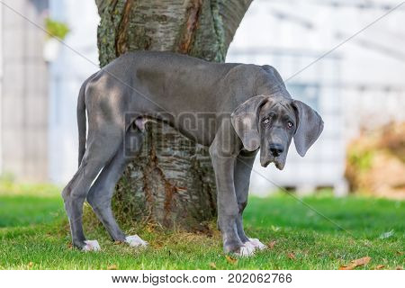 Great Dane Puppy Stands In Front Of A Tree