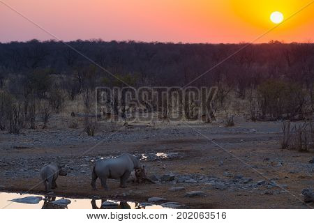 Rare Black Rhinos Drinking From Waterhole At Sunset. Wildlife Safari In Etosha National Park, The Ma