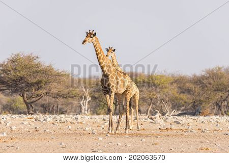 Giraffe Walking In The Bush On The Desert Pan. Wildlife Safari In The Etosha National Park, The Main