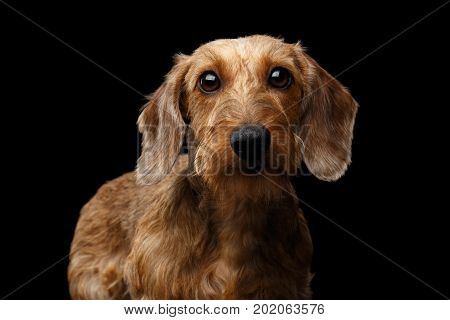 Portrait if Wirehaired Brown Dachshund Dog Curious Looking in Camera Isolated on Black Background, Front view