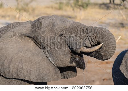 Close Up And Portrait Of A Young African Elephant Drinking From Waterhole. Wildlife Safari In The Ch