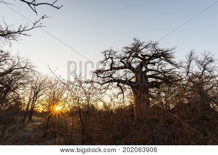 Huge Baobab Plant In The African Savannah With Sunburst. Botswana, One Of The Most Attractive Travel