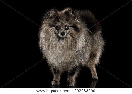 Purebred Blue Pomeranian Spitz, fur color Merle, Standing on Isolated Black Background, Groomed Dog