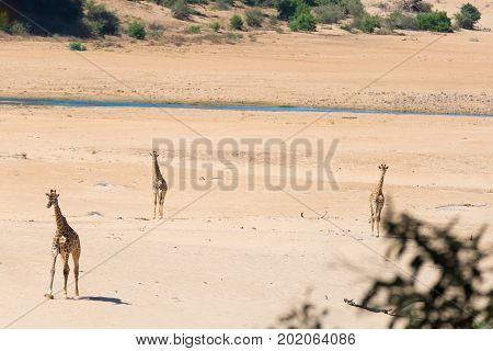 Group Of Giraffe Walking In The Bush On The Desert Pan, Daylight. Wildlife Safari In The Etosha Nati