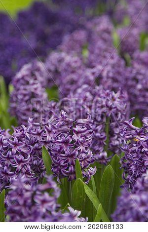Beautiful gardens of flowers in Keukenhof, Holland