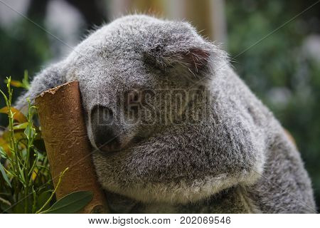 A tired sleepy Koala on a branch.