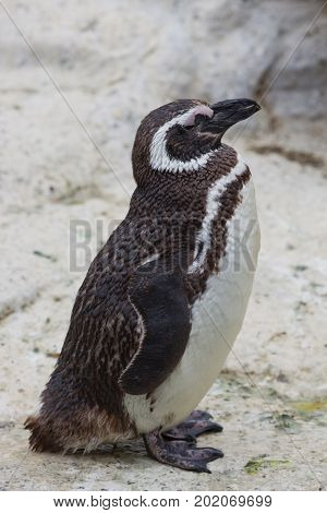 A standing, side-view of a Magellanic Penguin.