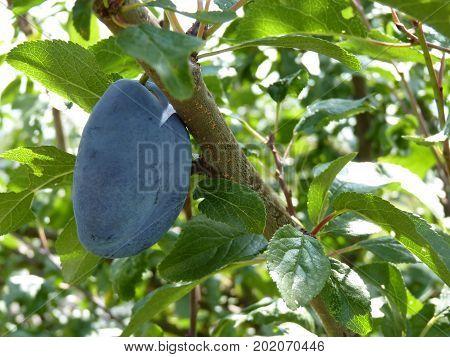 Blue Damson Plum Hanging On Plum Tree