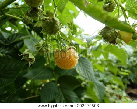 Close Up Macro Of Yellow Raspberry Fruit Bush