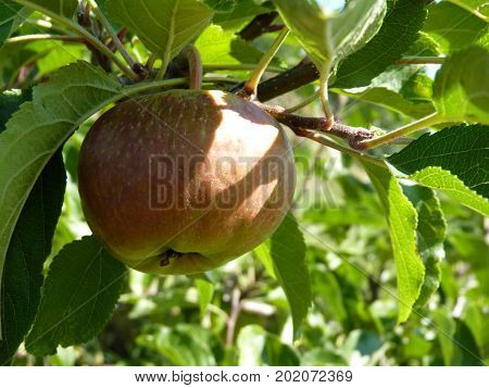 Close Up Of Unripe Apple Hanging On Tree