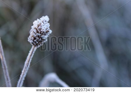 Beautiful close-up off frozen pussy willow, wheat, or goat willow on Culloden Moor, Scotland.