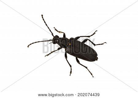 Longhorn Beetle (stictoleptura Scutellata) On A White Background