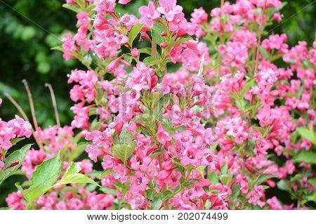 Sonic Bloom Weigela pink bush in spring