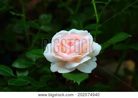 Delicate pink Rose with leaves in the garden. Beautiful pink and white rose on the bushes. Landscaping. Caring for garden roses shrubs. Wallpaper for desktop,  for calendar? for valentine