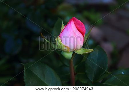 A single pink rose on the bush with bokeh for valentine cards. Love rose and heart. Rosebud with leaves in the garden. Landscaping. Caring for garden roses shrubs. Wallpaper for desktop, foto for calendar