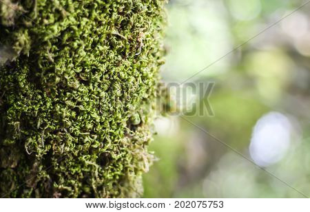 Nice curly moss on a forest tree with lights in the background.