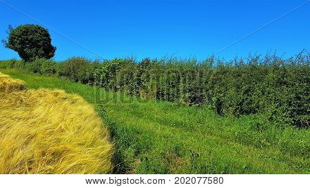 Hedgerow at the edge of a Wheatfield with a single tree