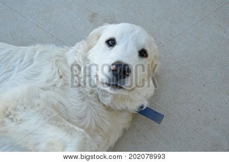 1 year old Great Pyrenees livestock guardian puppy dog.