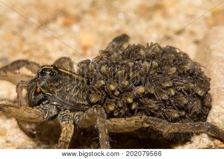 A close up of a female Wolf Spider carrying her young on her abdomen.