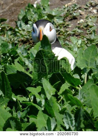 Puffin with its head showing above vegetation