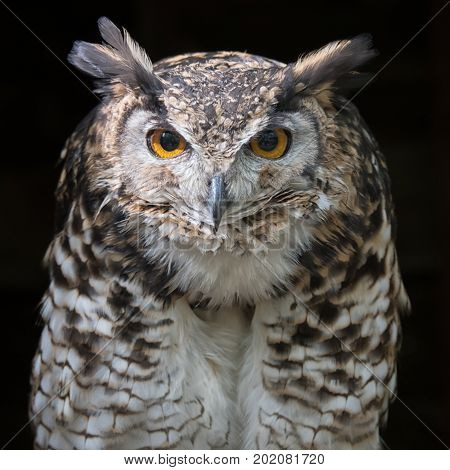 Close up head portrait of a mackinders eagle owl Bubo capensis mackinderi staring directly forward with a dark background square format