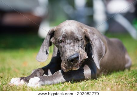 Great Dane Puppy Chews At Something