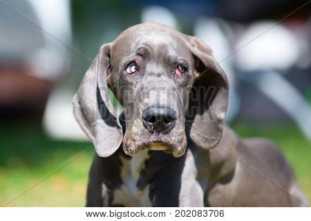 Great Dane Puppy Looking Sad