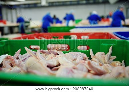 Plant for processing poultry in the food industry. chicken