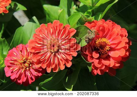 Horizontal image of several large colorful flowers tucked into greenery in garden