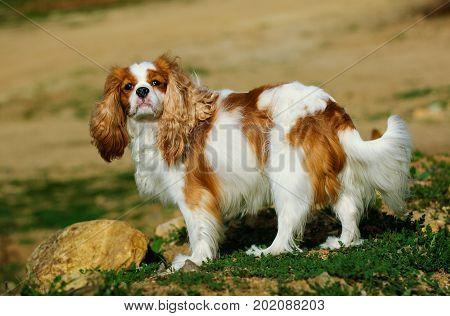 Cavalier King Charles Spaniel dog standing in rocks
