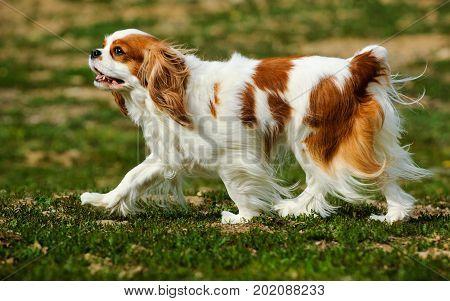 Cavalier King Charles Spaniel dog walking through grass