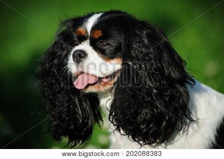 Cavalier King Charles Spaniel dog portrait against grass